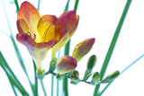 Freesia (Freesia Sp.) Posters by Lawrence Lawry