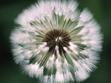 Dandelion Seed Head Photographic Print by  Dr. Nick