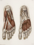 Foot Anatomy, 19th Century Illustration Posters by Science Photo Library