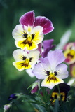 Pansies (Viola Wittrockiana) Photographic Print by  Dr. Nick