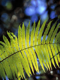 Hapu'u Fern Photographic Print by Brad Lewis