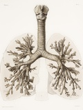 Respiratory Anatomy, 19th Century Artwork Print by Science Photo Library