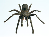Tarantula Photographic Print by Lawrence Lawry