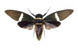 Tosena Cicada Prints by Lawrence Lawry