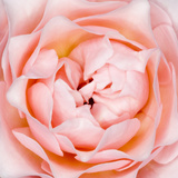 Rose Flower (Rosa Sp.) Photographic Print by Lawrence Lawry