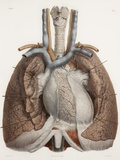 Heart And Lungs, Historical Illustration Premium Photographic Print by Science Photo Library