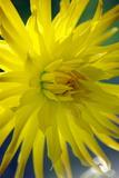 Dahlia Flower (Dahlia Cultorum) Photographic Print by Dr. Nick Kurzenko