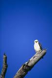 Juvenile Hawaiian Hawk Photographic Print by Brad Lewis