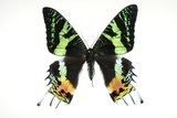 Madagascan Sunset Moth Photographic Print by Lawrence Lawry