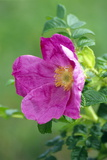 Salt Spray Rose Flower (Rosa Rugosa) Photographic Print by  Dr. Nick