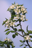 Chinese Pear Blossom (Pyrus Ussuriensis) Photographic Print by Dr. Nick Kurzenko