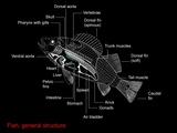 Fish Anatomy, Artwork Photographic Print by Francis Leroy