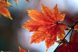 Korean Maple (Acer Pseudosieboldianum) Prints by Dr. Nick Kurzenko
