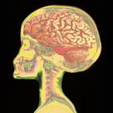 Brain Superimposed on Colour X-ray of Human Skull Photographic Print by Mehau Kulyk