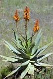 Bitter Aloe (Aloe Ferox) Posters by Bob Gibbons