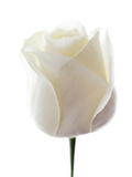 White Rose (Rosa Sp.) Premium Photographic Print by Gavin Kingcome