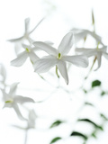 Jasmine Flowers (family Oleaceae) Photographic Print by Gavin Kingcome