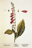 Digitalis Plant, 18th Century Photographic Print by Science Photo Library
