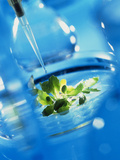 Culturing Genetically Engineered Plant Seedlings Poster by Tek Image