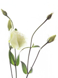 Lisianthus (Eustoma Sp.) Photographic Print by Gavin Kingcome