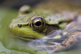 Green Frog (Rana Clamitans) Posters by Lawrence Lawry
