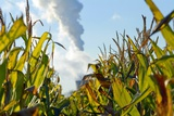 Growing Maize for Biofuel Photographic Print by Chris Knapton