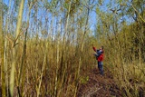 Willow Grown for Bioenergy Photographic Print by Chris Knapton