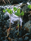 Mangrove Trees Photographic Print by Brad Lewis