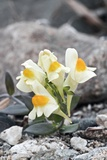 Japanese Toadflax (Linaria Japonica) Photographic Print by Dr. Nick Kurzenko