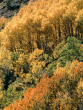 Autumn Aspen Trees Photographic Print by Brad Lewis