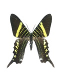 Urania Swallowtail Moth Prints by Lawrence Lawry