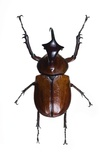 Golofa Scarab Beetle Photographic Print by Lawrence Lawry