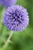 Allium Flower (Allium Sp.) Photo by Lawrence Lawry