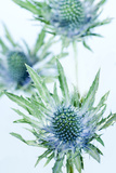 Sea Holly (Eryngium Sp.) Posters by Lawrence Lawry