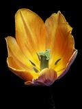Tulip (Tulipa Gesneriana) Photographic Print by Dr. Nick Kurzenko
