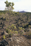 Plant Regrowth on a Lava Flow, Hawaii Photographic Print by Brad Lewis