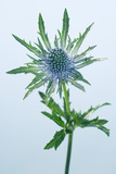 Sea Holly (Eryngium Sp.) Photographic Print by Lawrence Lawry