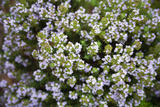 Thyme (Thymus Sp.) Posters by Veronique Leplat
