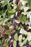 Chinese Schisandra (Schisandra Chinensis) Posters by Dr. Nick Kurzenko