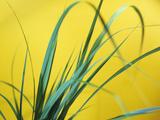 Lemon Grass Leaves Reproduction photographique par Lawrence Lawry