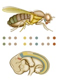Fruit Fly And Fetus Genetic Similarities Photographic Print by Mikkel Juul