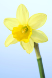 Daffodil (Narcissus Sp.) Photographic Print by Lawrence Lawry