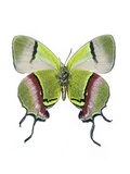 Crowned Hairstreak Butterfly Fotodruck von Lawrence Lawry