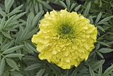 Mexican Marigold (Tagetes Erecta) Posters by Dr. Nick Kurzenko