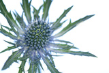 Sea Holly (Eryngium Sp.) Poster by Lawrence Lawry