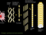Collagen Synthesis And Assembly, Artwork Photographic Print by Francis Leroy