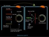 Retrovirus Genome Replication, Artwork Photographic Print by Francis Leroy
