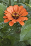 Zinnia Angustifolia Photo by Dr. Nick Kurzenko