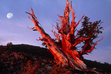 Bristlecone Pine Tree At Sunrise Prints by Keith Kent