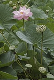 Sacred Lotus (Nelumbo Nucifera) Photographic Print by Dr. Nick Kurzenko